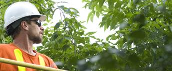 A Hydro Ottawa tree trimmer in an aerial bucket assessing trees in the proximity of wires