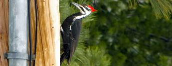 Woodpeckers & Hydro Poles